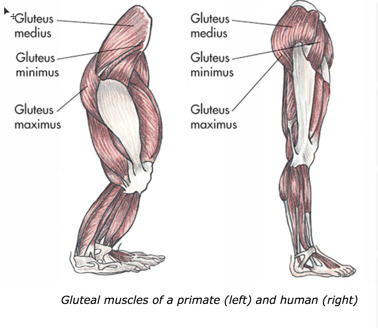 Glutes primate and human